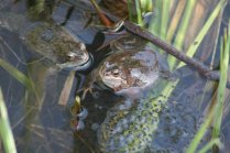 Frogs Img_3772a