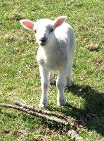 Lamb Img_7436a