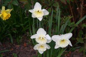 Daffodils IMG_3871a