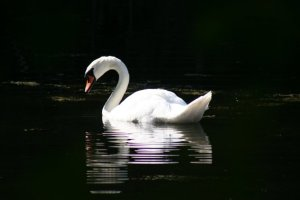 Swan Img_5215a
